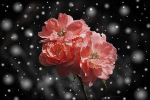 ローズローズアニマルクリニックの天国のバラ